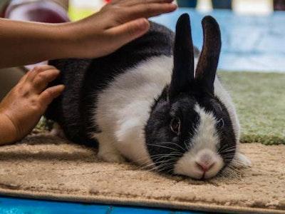 Dutch_rabbit