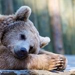 Bear 500X