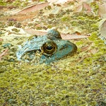 Bullfrog For Blog