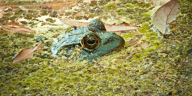 Bullfrog For Blog