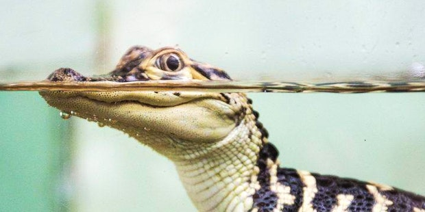 DPN American Alligator card