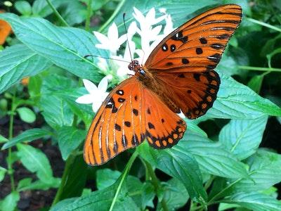 Dpn Butterfly