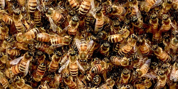 Honeybee Swarm Closeup
