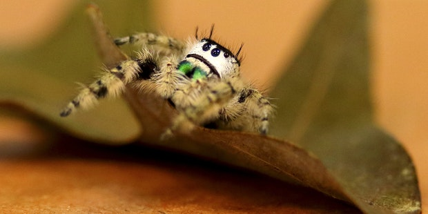 Jumping-Spider1
