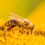 Pollen-Nation