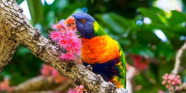Rainbow Parrot HERO
