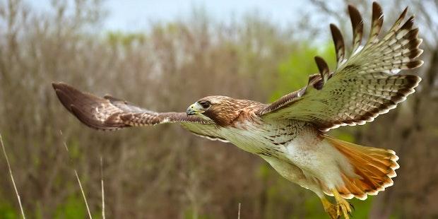 Red_Tail_Hawk