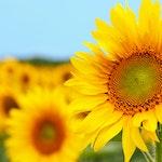 Sunflower Project