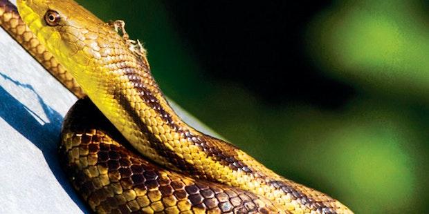 Yellow Rat Snake Card