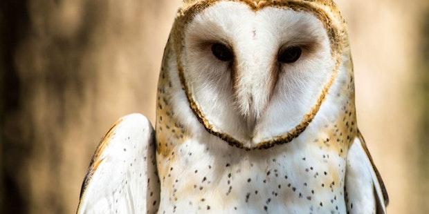 Barn Owl Charlotte Nc