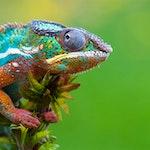 Color cham