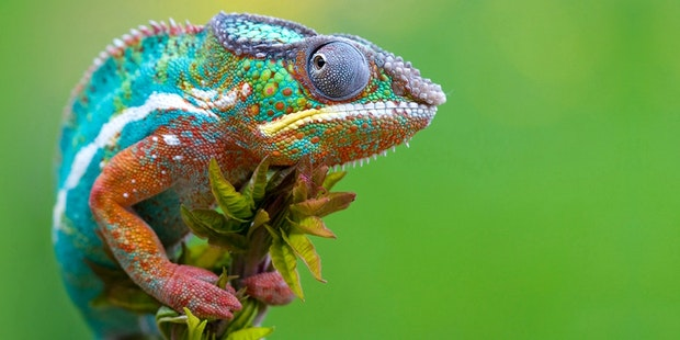 Colorful chamelion