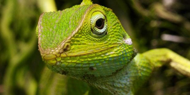 Lizard-reptile