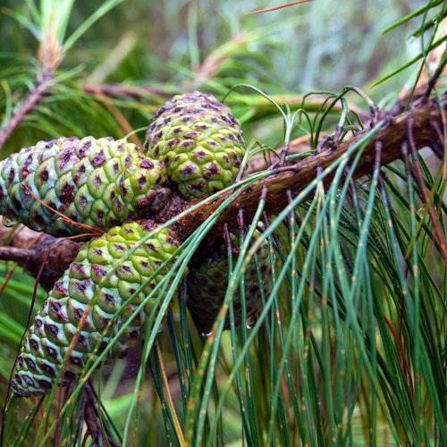 Long-leaf-pine_pine-cone-100X500