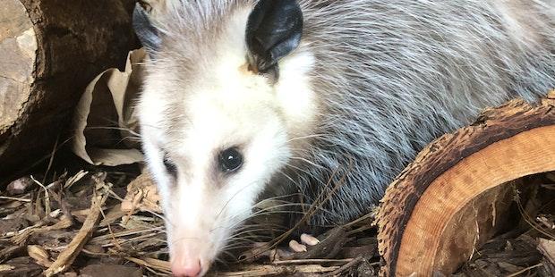 opossum_01