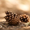 Pine-cones-1000X500