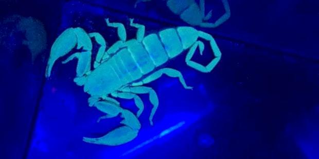Scorpion Glow Card