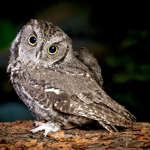 Screech Owl Nocturnal Night