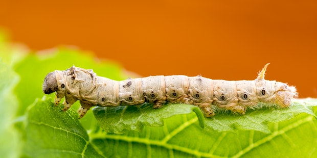 Silkworm up close on leaf