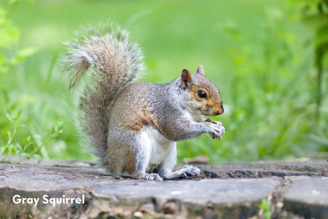 1 Gray Squirrel shutterstock 455377972