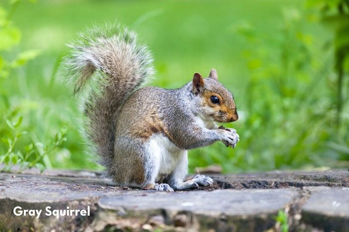 1 Gray Squirrel shutterstock 455377972