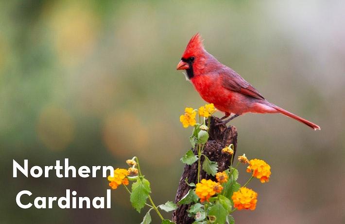 10 Northern Cardinal shutterstock 1105759571