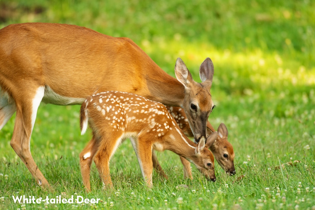 2 White Tailed Deer shutterstock 1129631132