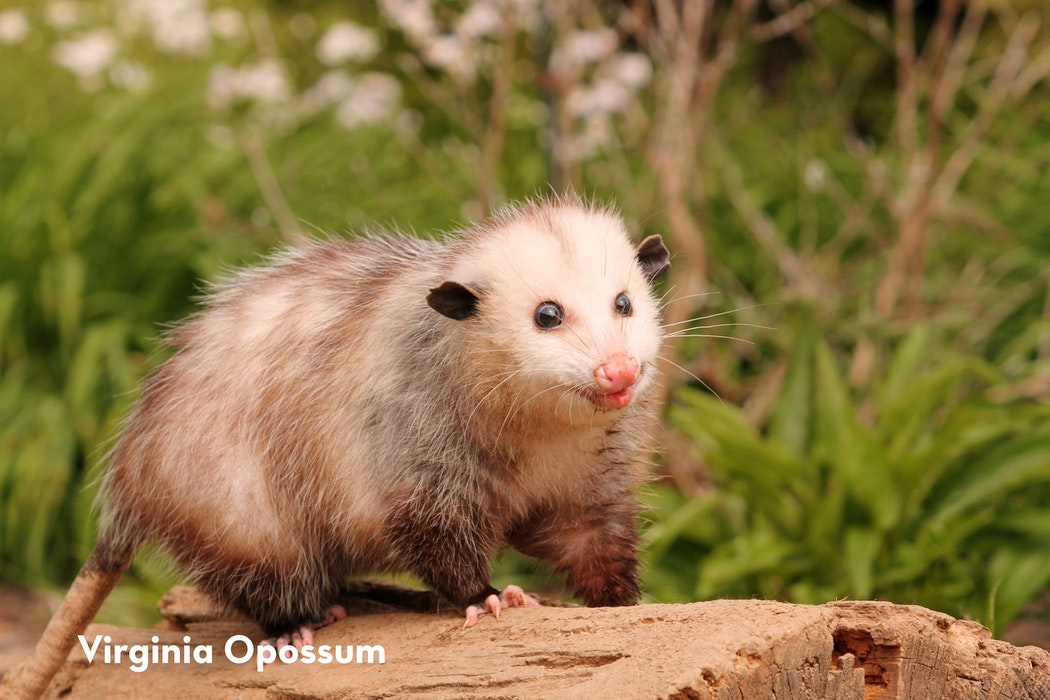 3 Virginia Oppossum shutterstock 139216634