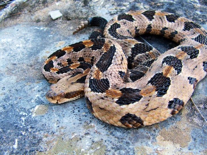 3 timber rattlesnake shutterstock 84555547