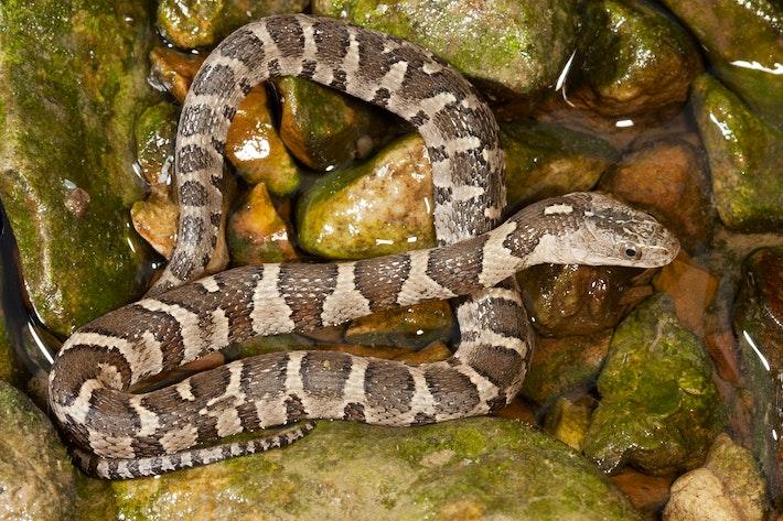 5 northern water snake shutterstock 163043720