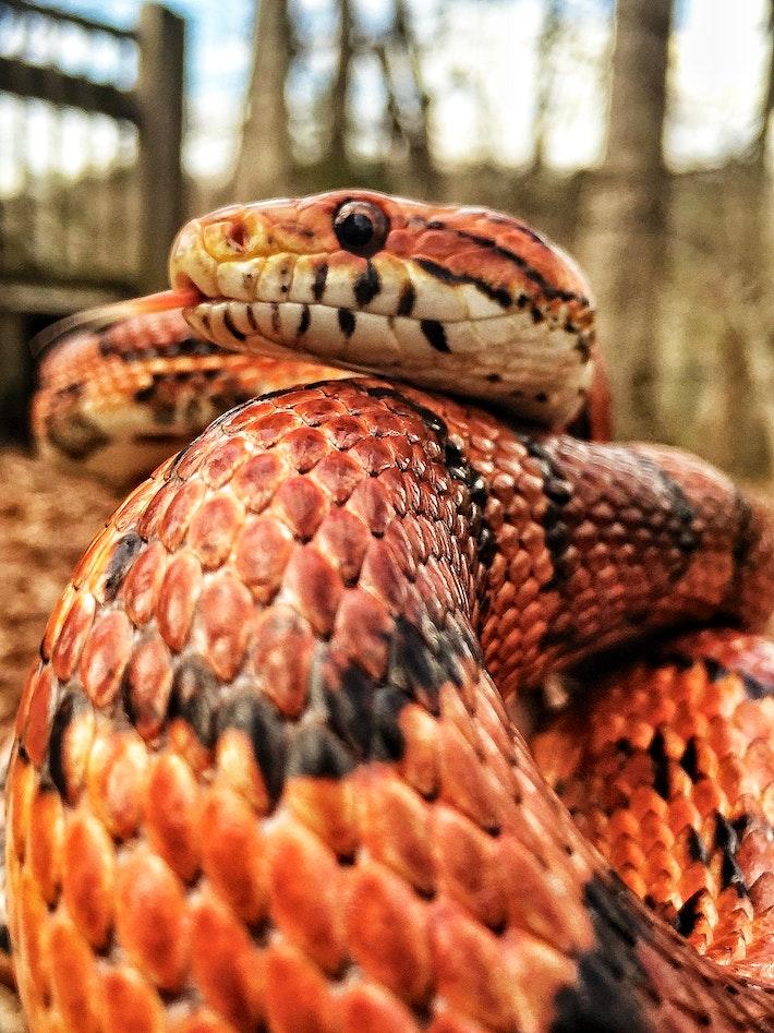 6 corn snake