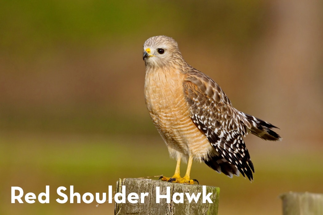 7 Red Shoulder Hawk shutterstock 173648693