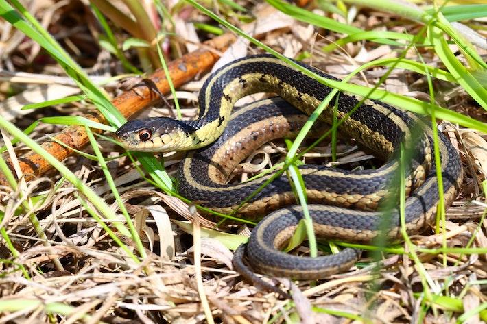 8 Garter Snake shutterstock 76638685