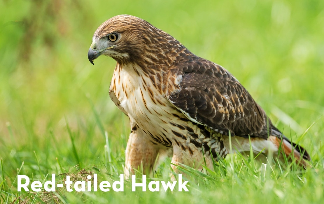 8 Red Tailed Hawk shutterstock 570412762