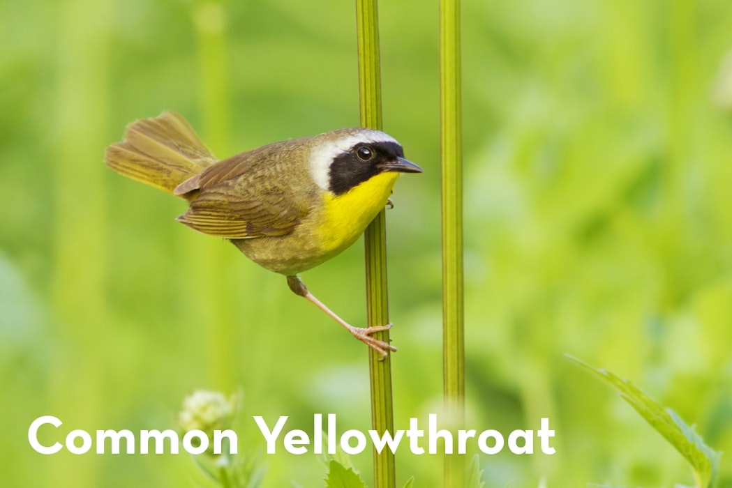 9 Common Yellowthroat shutterstock 519888571