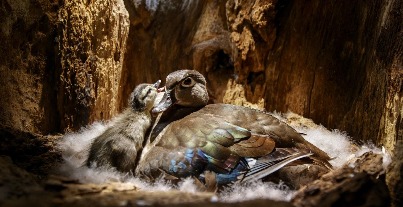 Backyard Wilderness Fps Wood Duck Mum Baby