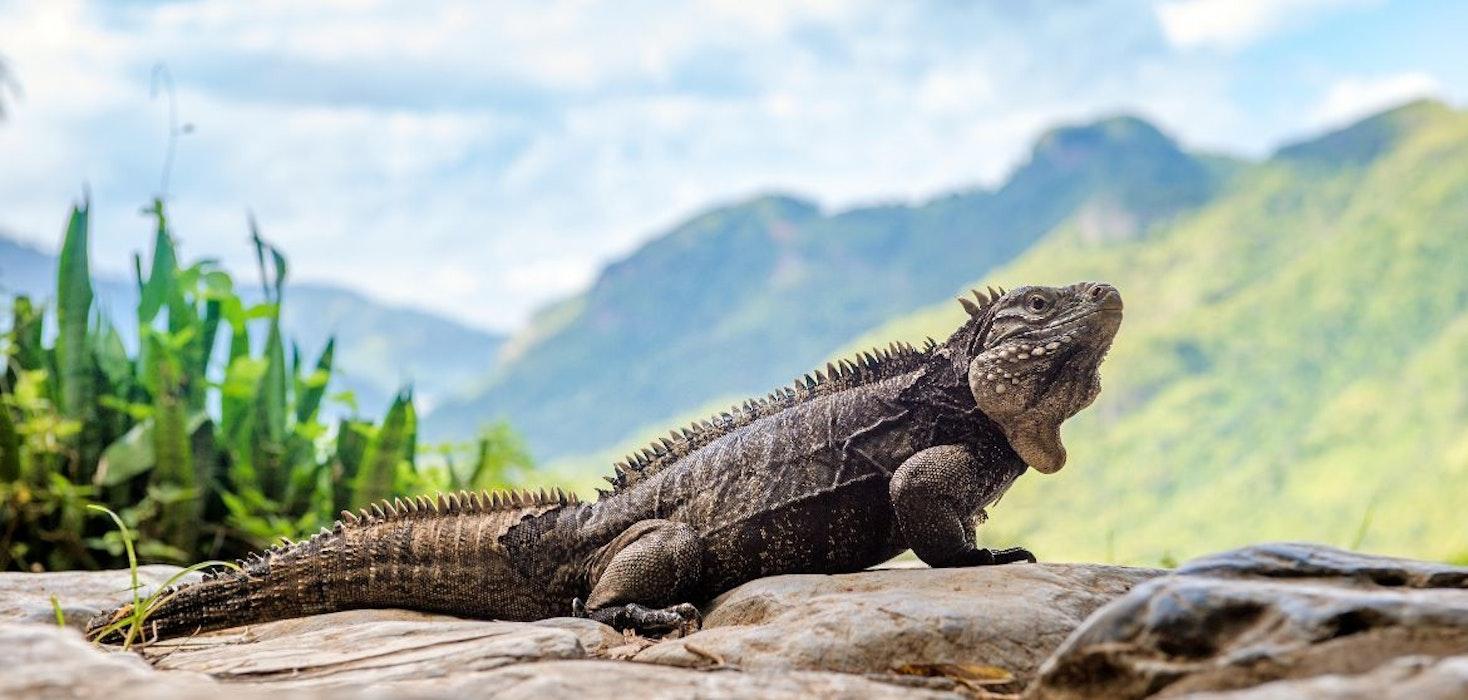 Cuban-Rock-Iguana-aka-cuban-ground-iguana