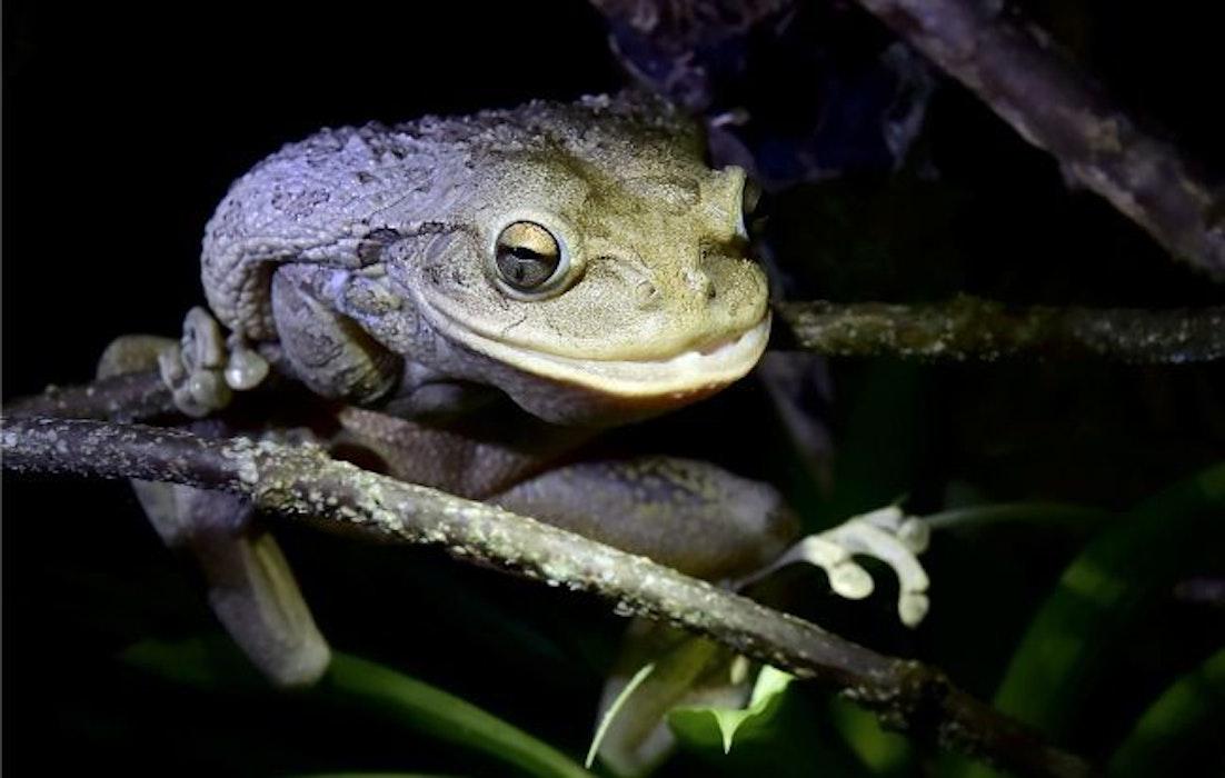 Cuban-Tree-Frog