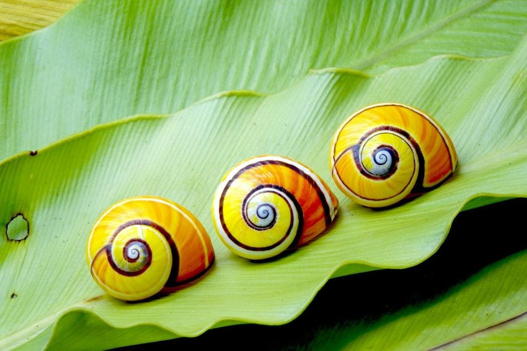 Cuban-snail