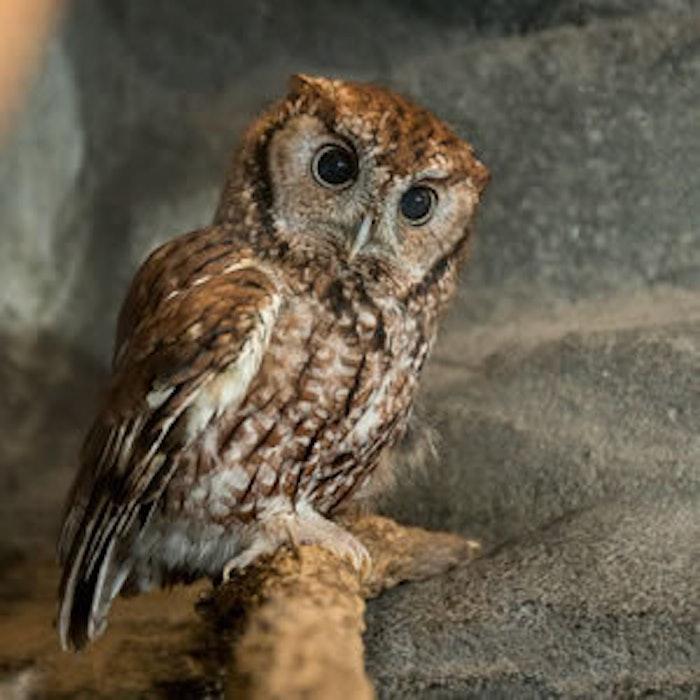 Dpn Creature Cavern Owl