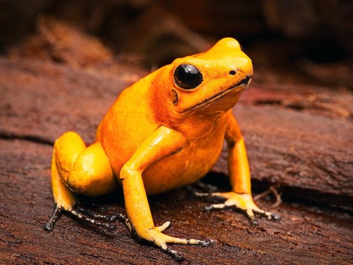 Golden poison dart frog Phyllobates terribilis