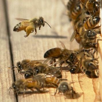Pollen Bearing Honeybee Mb