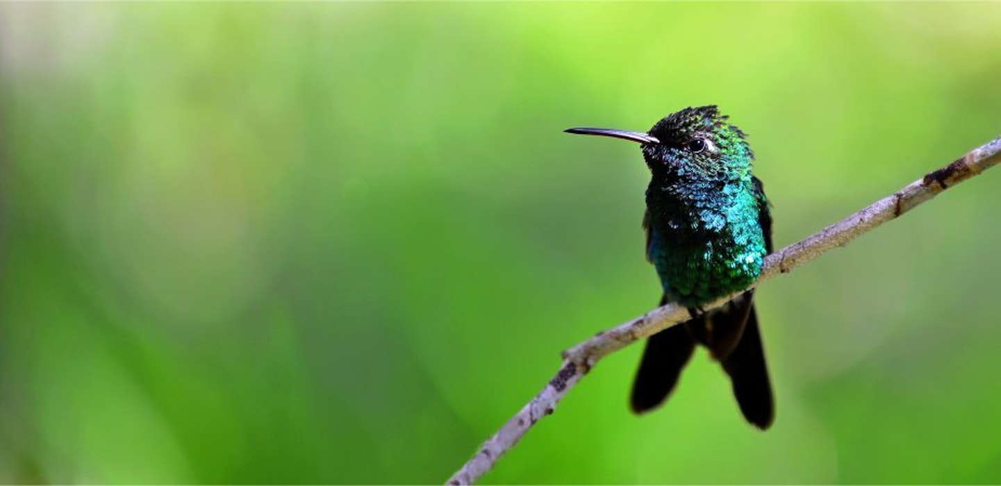 The-Cuban-Emerald-Hummingbird