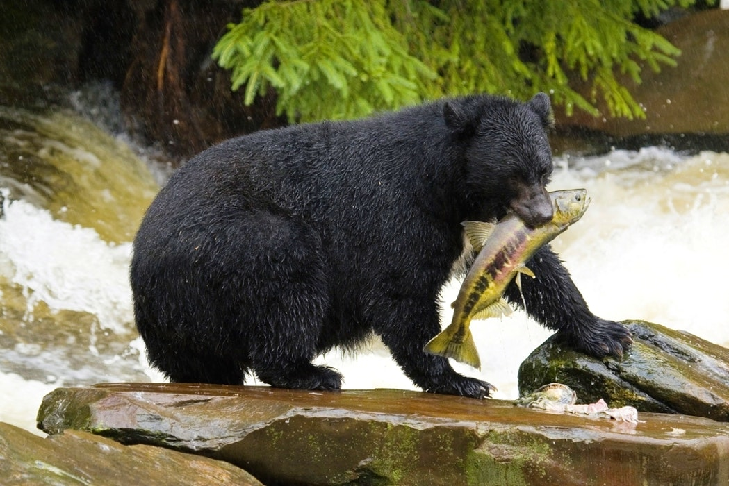 Black bear eating fish in river