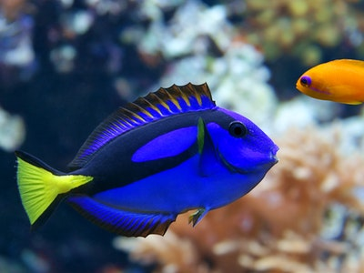 Royal blue tang