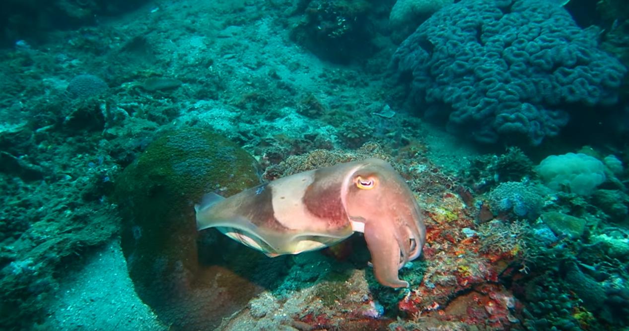 YT Ever Wonder Cuttlefish